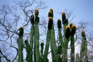 http://www.sbs.utexas.edu/mauseth/researchoncacti/Backe%20militaris%20plant%20w%20cephs%20large%20lo%20res.jpg