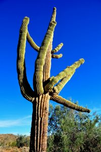 https://upload.wikimedia.org/wikipedia/commons/e/e1/SaguaroCactusAZ.JPG