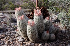 http://nmrareplants.unm.edu/photoimages/images/escorc_h3.jpg