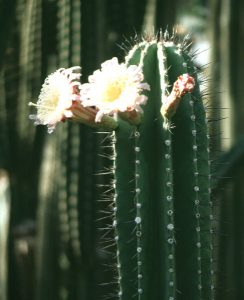 http://www.wellgrowhorti.com/Pictures/Cactus%20Seeds/Web%20Pictures/N/Neobuxbaumia%20Euphorbioides.jpg