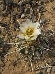 http://imgc.allpostersimages.com/images/P-473-488-90/64/6457/4FXH100Z/posters/gerald-buff-corsi-wright-s-fishhook-cactus-sclerocactus-wrightiae-capitol-reef-national-park-utah-usa.jpg