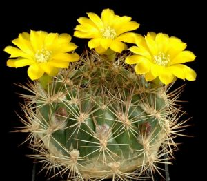 http://www.wellgrowhorti.com/Pictures/Cactus%20Seeds/Web%20Pictures/W/Weingartia%20Sp%20(Torotoro,Bol.).jpg